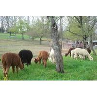 Alpaca Farm Tour at Apple Hill Farm
