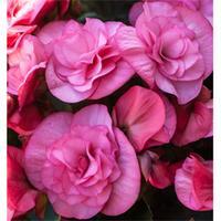 Begonia \'Rosebud Tutu\' - 3 begonia jumbo plug plants
