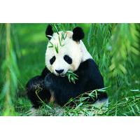 Chengdu Private Day Tour of Panda Breeding Center, Wide-and-Narrow Alley, and Jinli Food Street