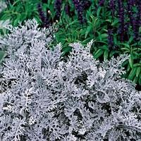 Cineraria Silver Dust 70 Ready Plants