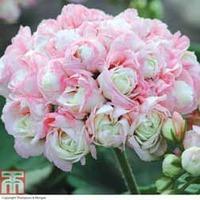 Geranium \'Appleblossom Rosebud\' - 1 x Geranium Appleblossom Pot Collection