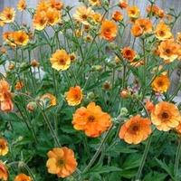 Geum \'Totally Tangerine\' (Large Plant) - 2 x 1 litre potted geum plants