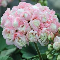 Geranium \'Appleblossom Rosebud\' - 3 geranium jumbo plug plants
