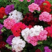 Geranium \'Rosebud Collection\' - 15 geranium jumbo plug plants - 3 of each variety