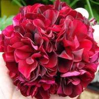 Geranium \'Rosebud Black Rose\' - 5 geranium plug plants