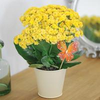 Kalanchoe \'Yellow Rosebud\' - Gift - 1 x Kalanchoe