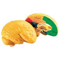Learning Resources Cross Section Foam Human Brain Model