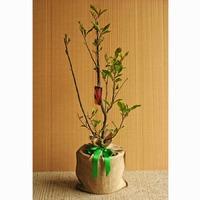 Magnolia Betty Tree Gift