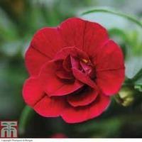 Petunia \'Mini Rosebud Romantic Collection\' (Mini Petunia) - 5 petunia Postiplug plants - 1 of each variety