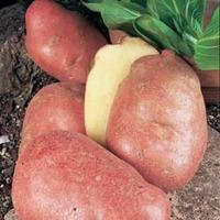 Potato \'Desiree\' - 2 kg of potato tubers