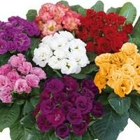 Primrose Rosebud 24 Large Plants