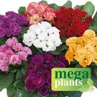 Primrose Rosebud 12 Mega Plants