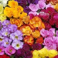 Rosebud Primrose \'Primlet Double Mix\' pack 12 jumbo plug plants