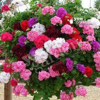 Rosebud Geranium collection - 12 plug plants