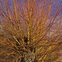 Scarlet Willow (Hedging) - 100 bare root hedging plants