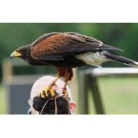 Shadow a Falconer for the day at Coda Falconry