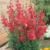 Sidalcea hybrida \'Party Girl\' (Large Plant) - 1 sidalcea plant in 1 litre pot