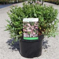 Spiraea japonica \'Little Princess\' (Large Plant) - 2 x 3.6 litre potted spiraea plants