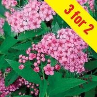 Spirea Little Princess 3 Plants 3 Litre