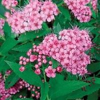 Spirea Little Princess 1 Plant 3 Litre